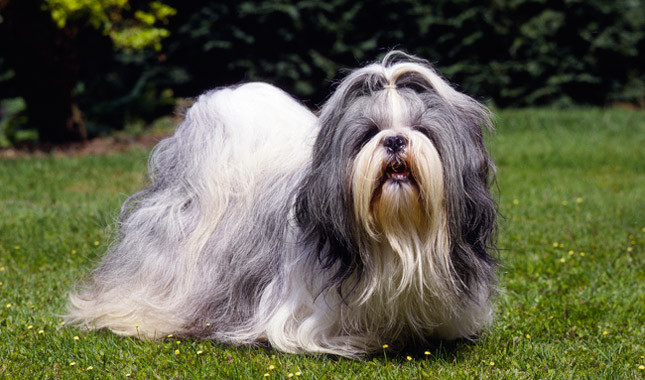 Shih Tzu Breed