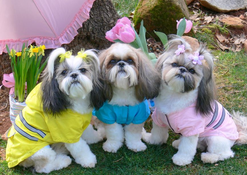 Shih Tzu Obesity Shih Tzu City