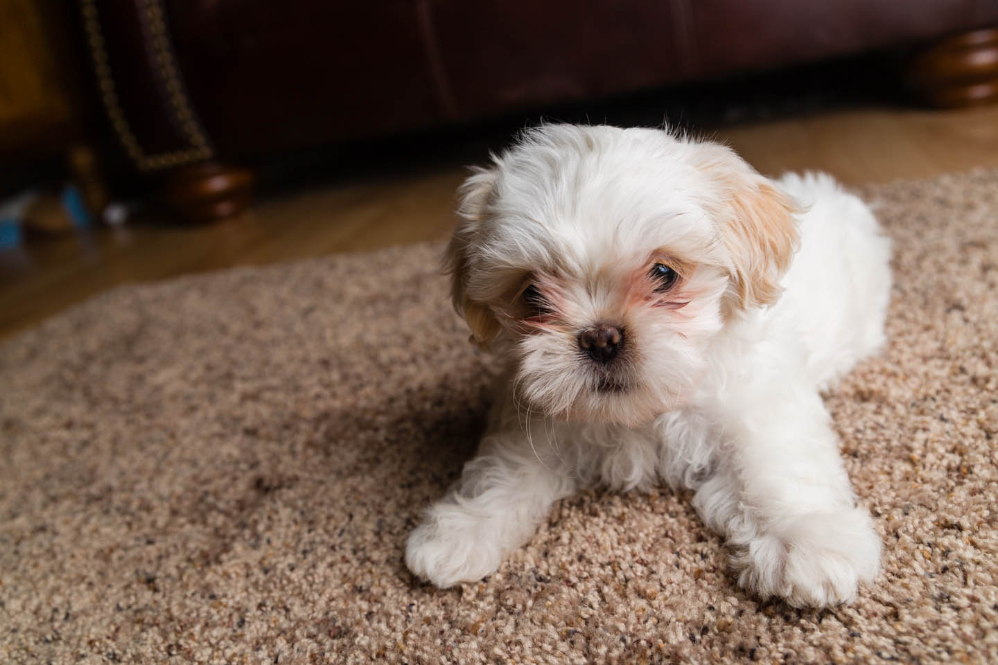 shih tzu puppies £ 400 posted 1 year ago for sale dogs shih
