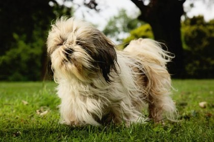 Shih Tzu Exercise Requirements