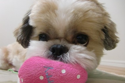 Smelly Shih Tzu