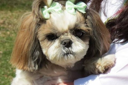 Tracheal Collapse in Shih Tzu