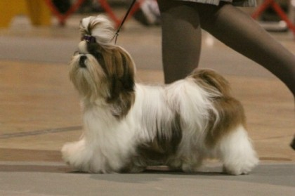 The Show Dog Shih Tzu