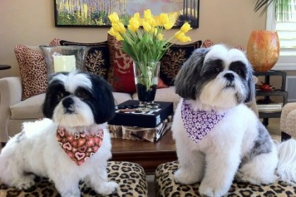 What to look for in a Shih Tzu breeder?