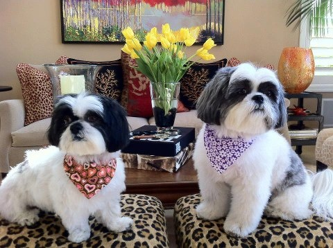 What To Look For In A Shih Tzu Breeder