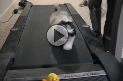 Shih Tzu on a Treadmill