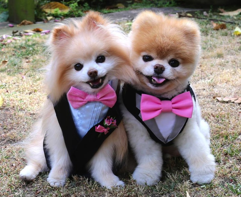 Are Pomeranians Cuter Than Shih Tzu Shih Tzu City