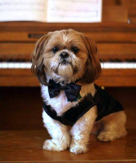 Psychological Well Being Of Your Shih Tzu Shih Tzu City