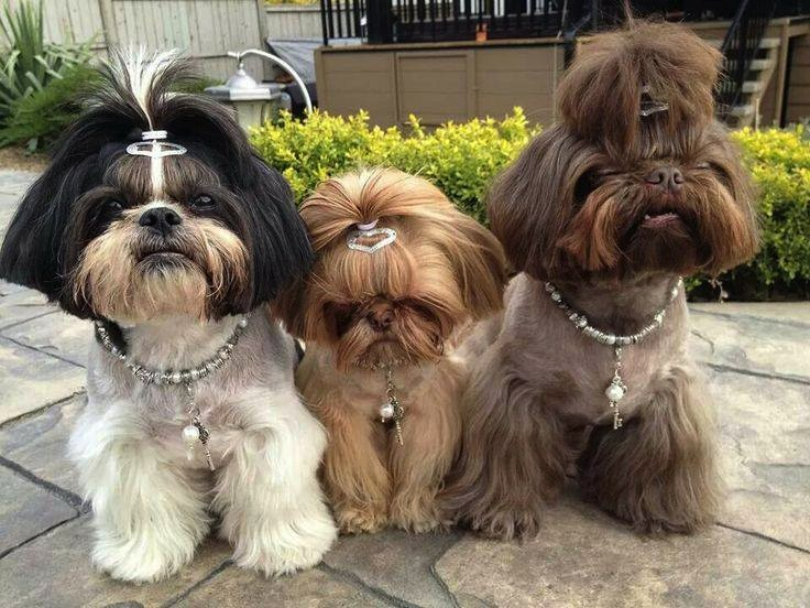 Shih Tzu Hairstyles Shih Tzu City