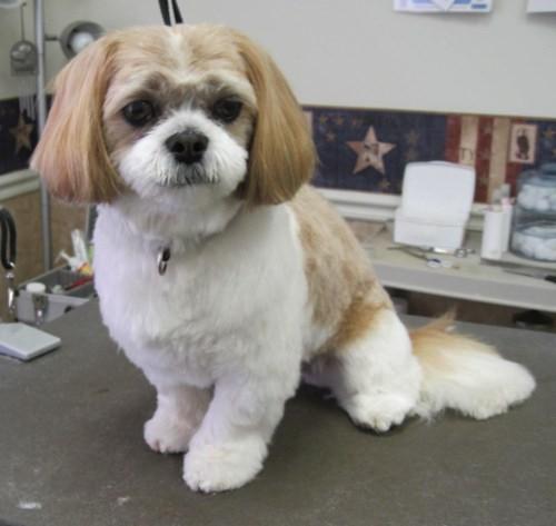 Shih Tzu Puppy Cut Cool And Comfortable Shih Tzu City
