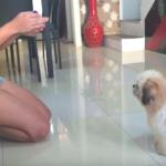 Shih Tzu Puppy Doing Tricks