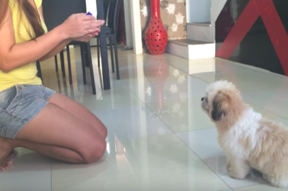 Shih Tzu Puppy Doing Tricks