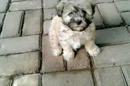 Duke - Shih Tzu puppy