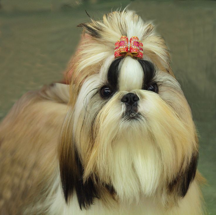 shih tzu hair care grooming tips for your shih tzu shih tzu city 2495