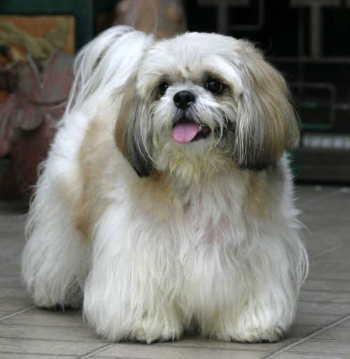 how big does a shih tzu get how big do shih tzu get shih tzu city 3688